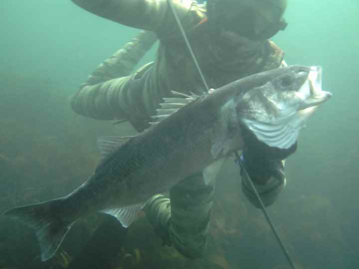 spearfishing uk bass